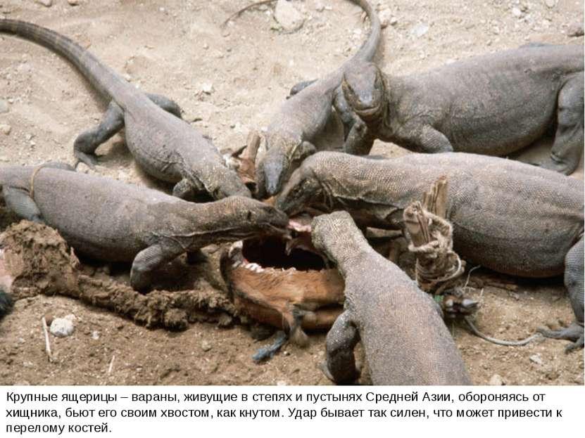 Крупные ящерицы – вараны, живущие в степях и пустынях Средней Азии, обороняяс...