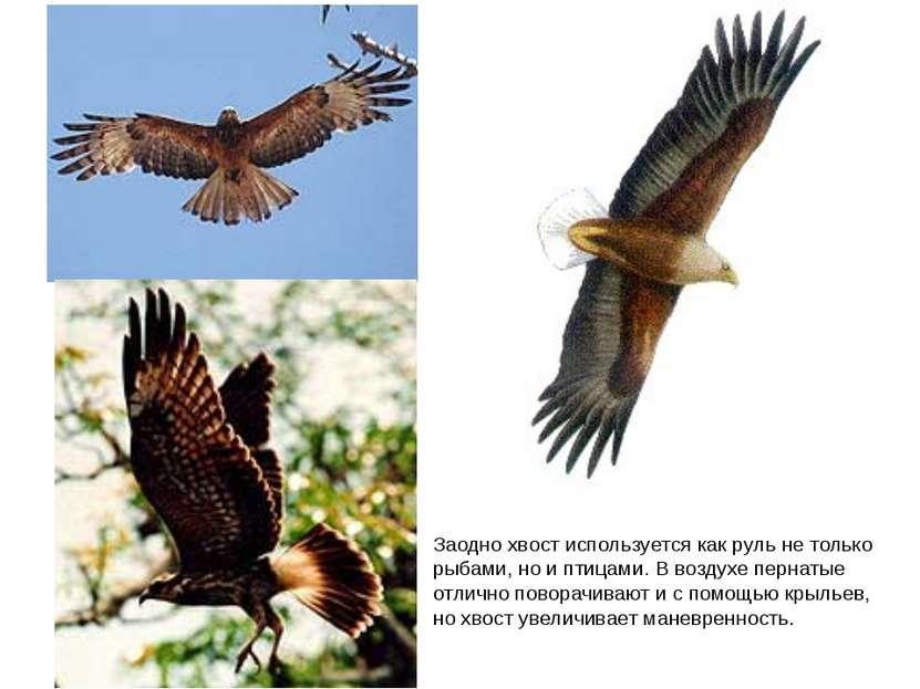 Заодно хвост используется как руль не только рыбами, но и птицами. В воздухе ...