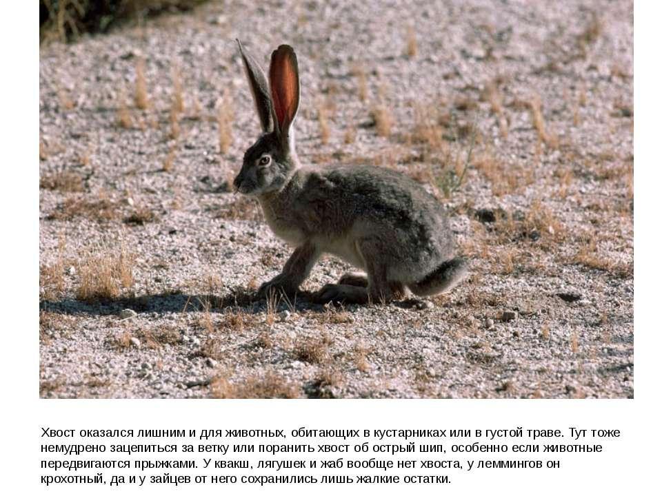Хвост оказался лишним и для животных, обитающих в кустарниках или в густой тр...