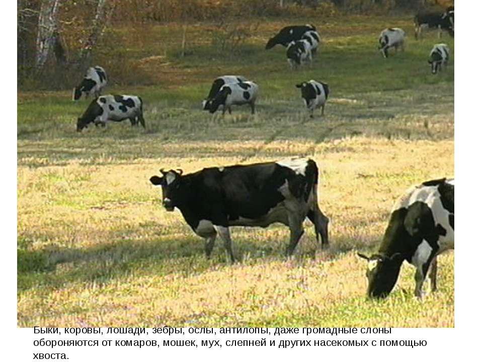 Быки, коровы, лошади, зебры, ослы, антилопы, даже громадные слоны обороняются...