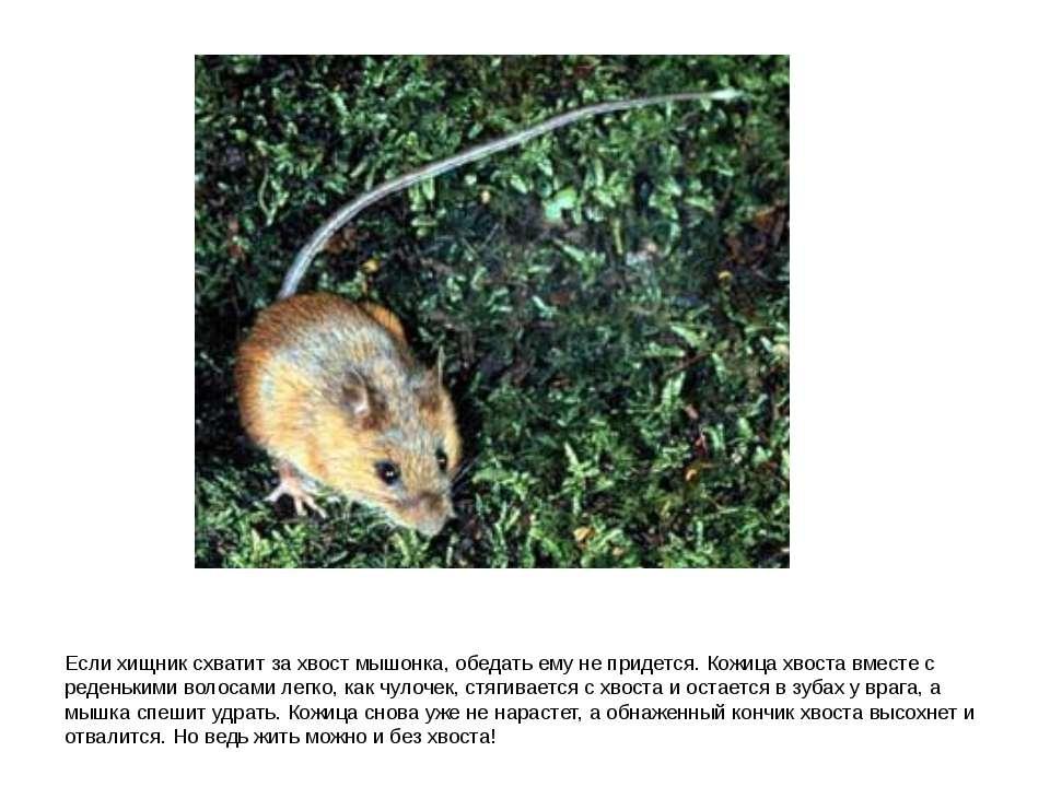 Если хищник схватит за хвост мышонка, обедать ему не придется. Кожица хвоста ...