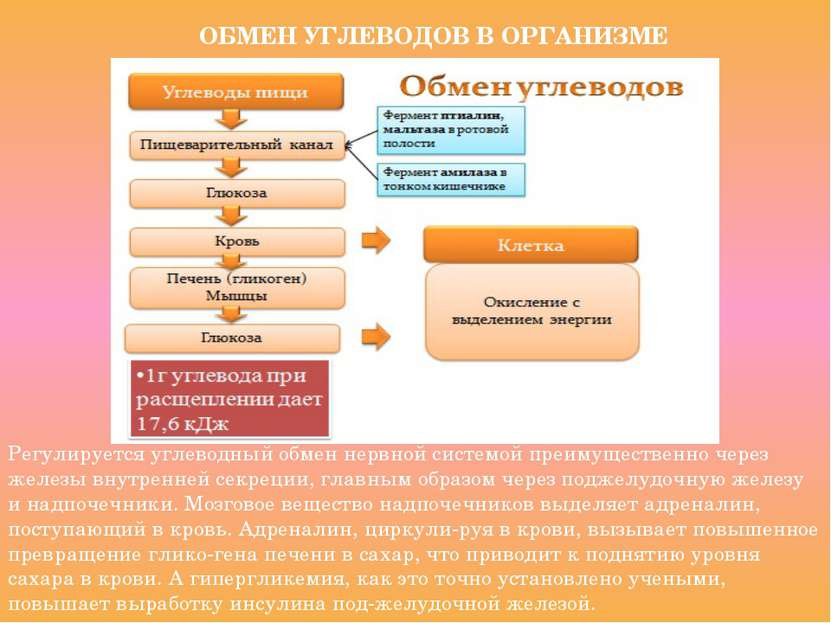ОБМЕН УГЛЕВОДОВ В ОРГАНИЗМЕ Регулируется углеводный обмен нервной системой пр...