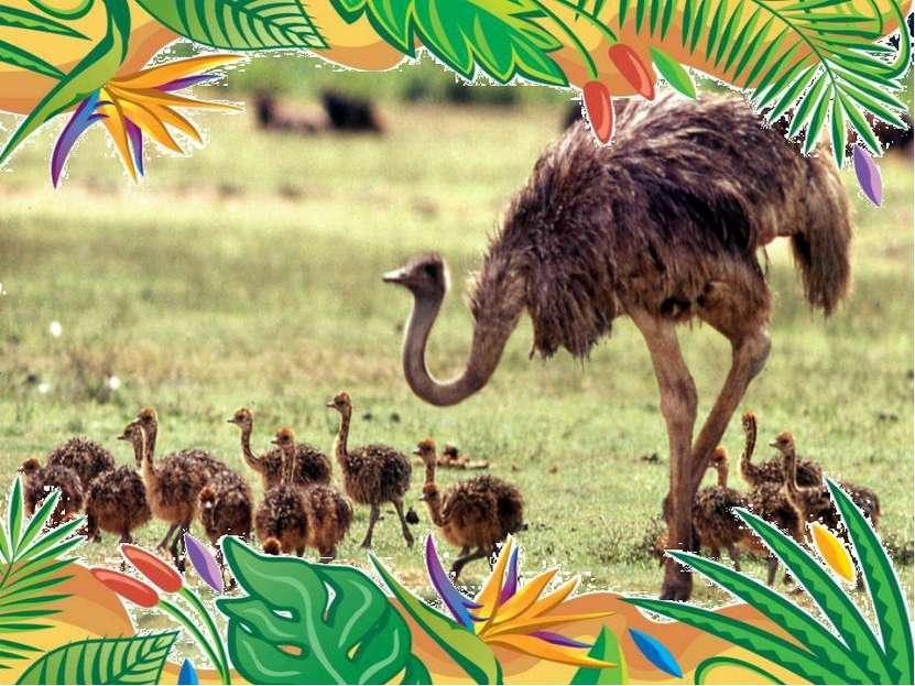 Самая крупная современная птица африканский страус веса 75 кг. высоты 2, 74 ...