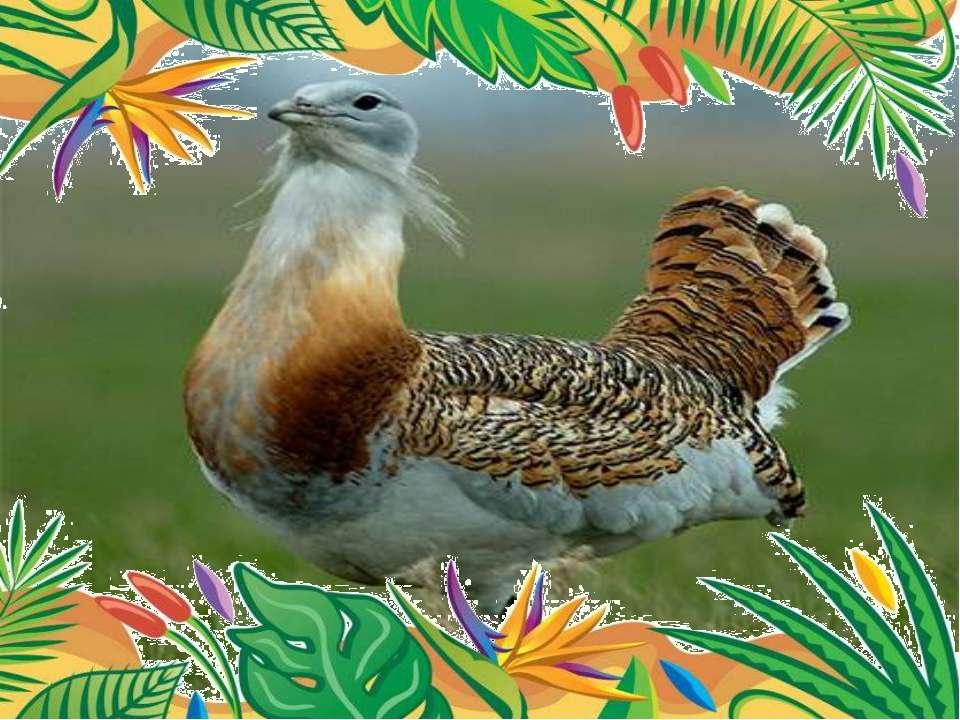 вес достигает 20 кг. Самая тяжелая из современных летающих птиц – дрофа.