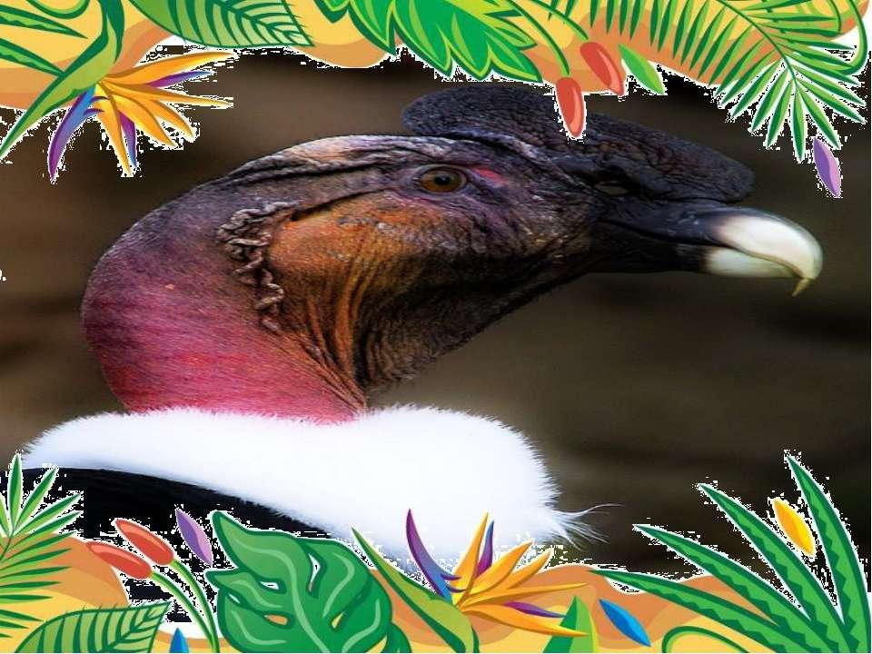 Самая крупнаяптица – андский кондор Самцыв среднем весят 9-12 кг при размах...