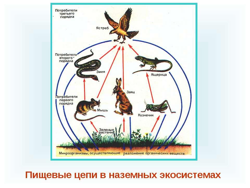 Пищевые цепи в наземных экосистемах