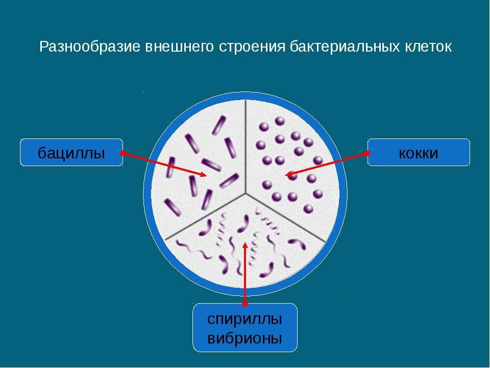 Разнообразие внешнего строения бактериальных клеток спириллы вибрионы бациллы...