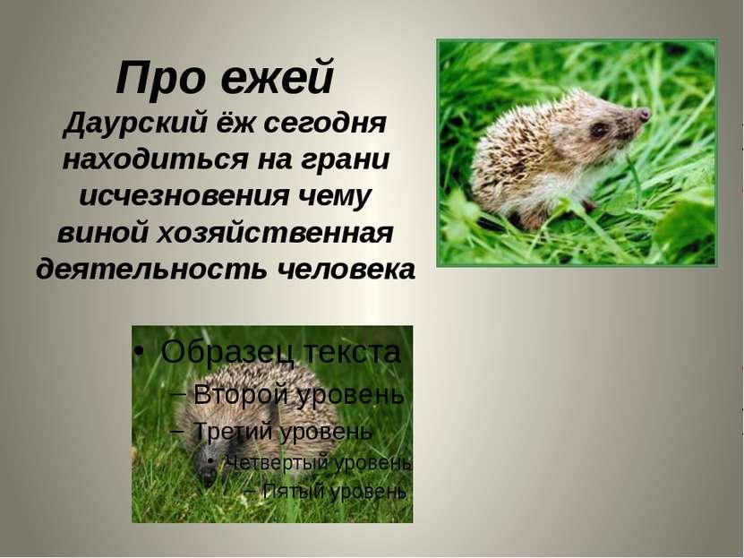Про ежей Даурский ёж сегодня находиться на грани исчезновения чему виной хозя...