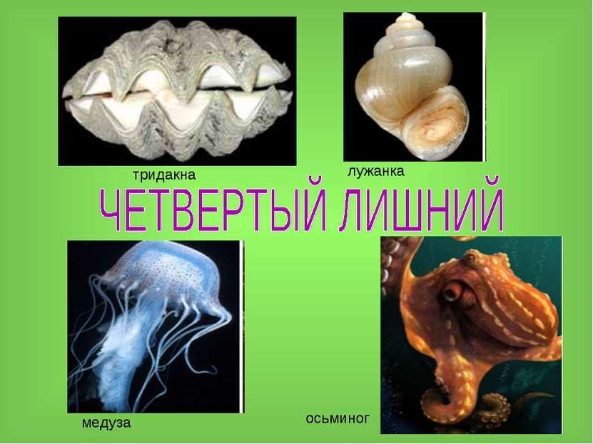 тридакна лужанка медуза осьминог