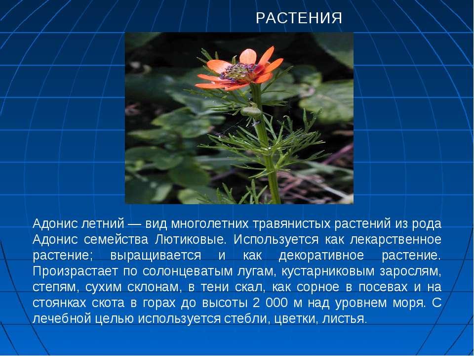 РАСТЕНИЯ Адонис летний — вид многолетних травянистых растений из рода Адонис ...