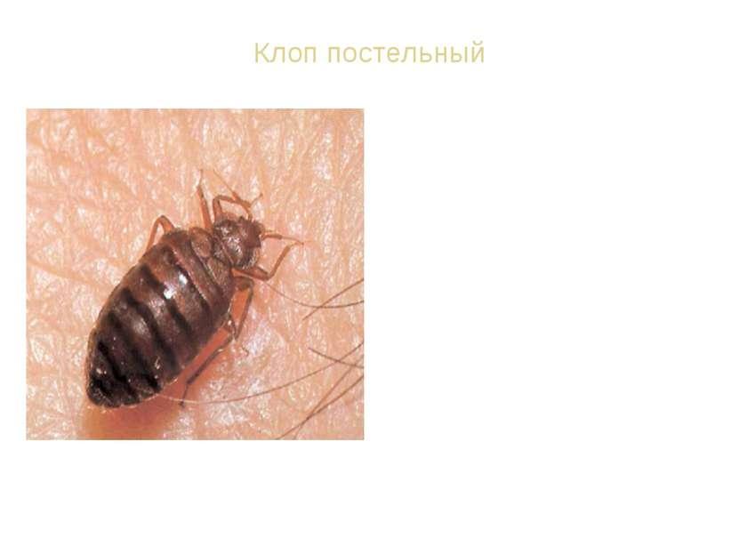 Клоп постельный ВИД: Постельный клоп обыкновенный - Cimex lectularius. Тело п...