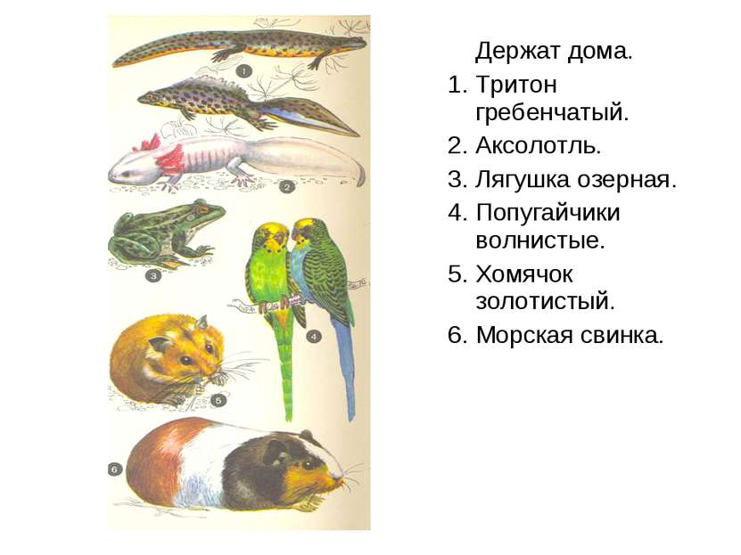 Держат дома. 1. Тритон гребенчатый. 2. Аксолотль. 3. Лягушка озерная. 4. Попу...