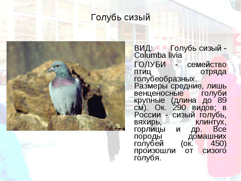 Голубь сизый ВИД: Голубь сизый - Columba livia ГОЛУБИ - семейство птиц отряда...