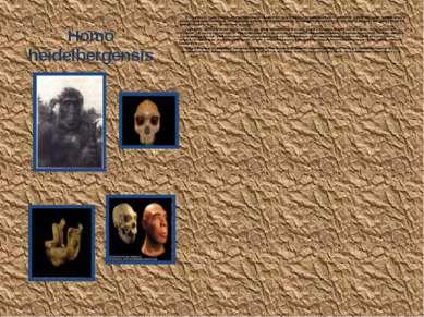 Homo heidelbergensis К этому виду обычно относят формы, переходные между H.er...