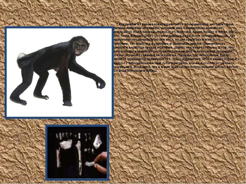 Ardipithecus ramidus Следующим из ранних гоминид является обнаруженный на тер...