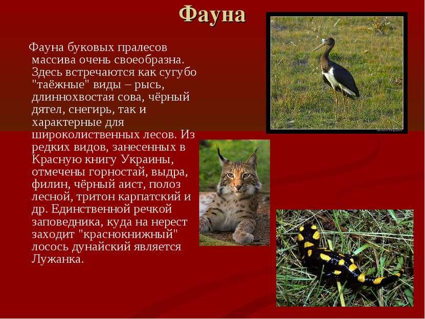 Фауна Фауна буковых пралесов массива очень своеобразна. Здесь встречаются как...