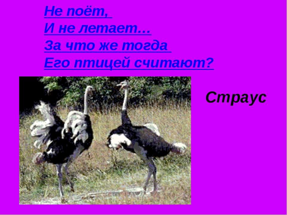 Не поёт, И не летает… За что же тогда Его птицей считают? Страус