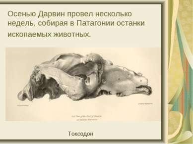 Осенью Дарвин провел несколько недель, собирая в Патагонии останки ископаемых...