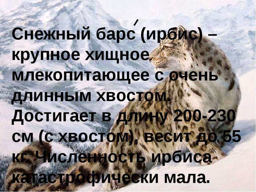 Снежный барс (ирбис) – крупное хищное млекопитающее с очень длинным хвостом. ...