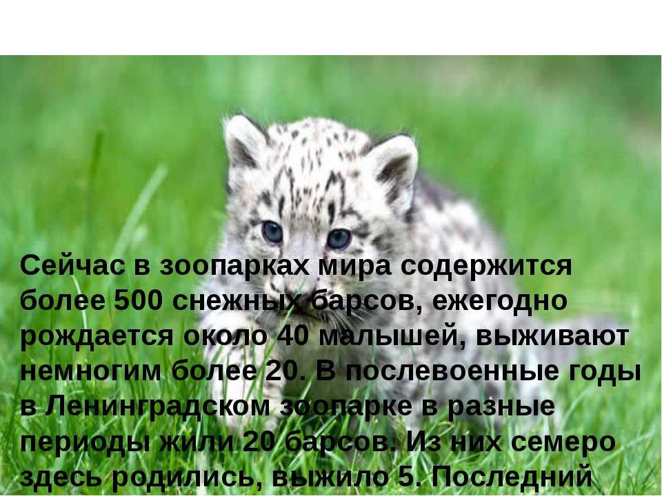 Сейчас в зоопарках мира содержится более 500 снежных барсов, ежегодно рождает...