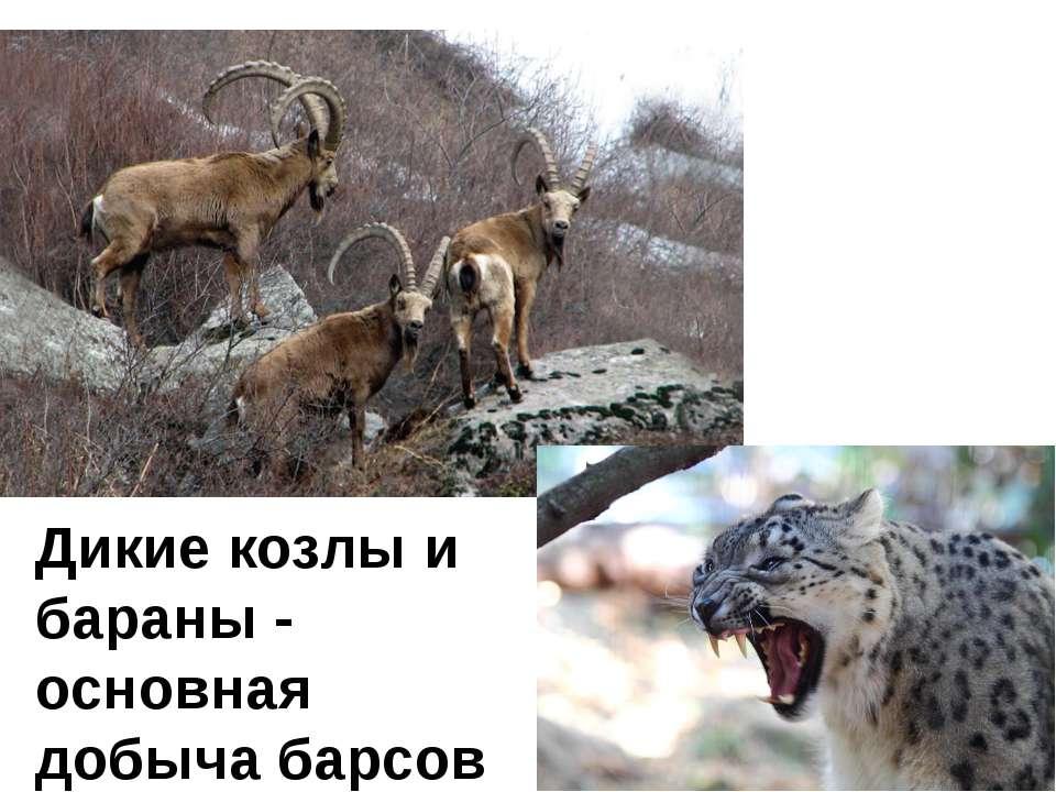 Дикие козлы и бараны - основная добыча барсов