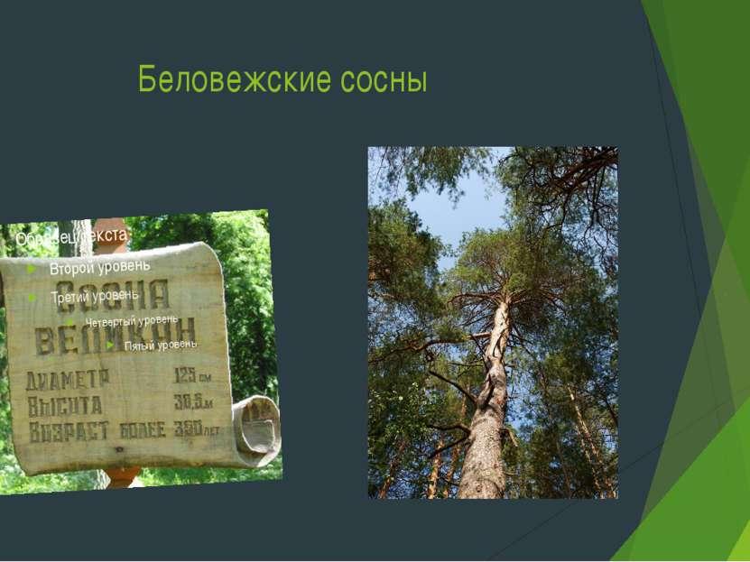 Беловежские сосны