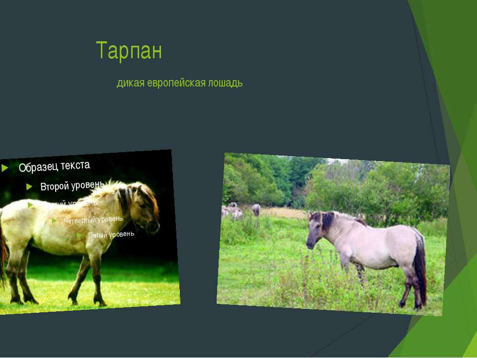 Тарпан дикая европейская лошадь