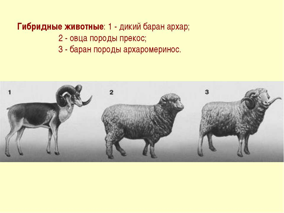 Гибридные животные: 1 - дикий баран архар; 2 - овца породы прекос; 3 - баран ...