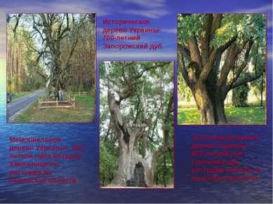 Мемориальное дерево Украины- 800-летняя липа Богдана Хмельницкого, растущая ...