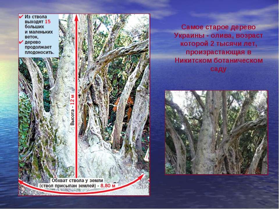 Самое старое дерево Украины- олива, возраст которой 2 тысячи лет, произраста...