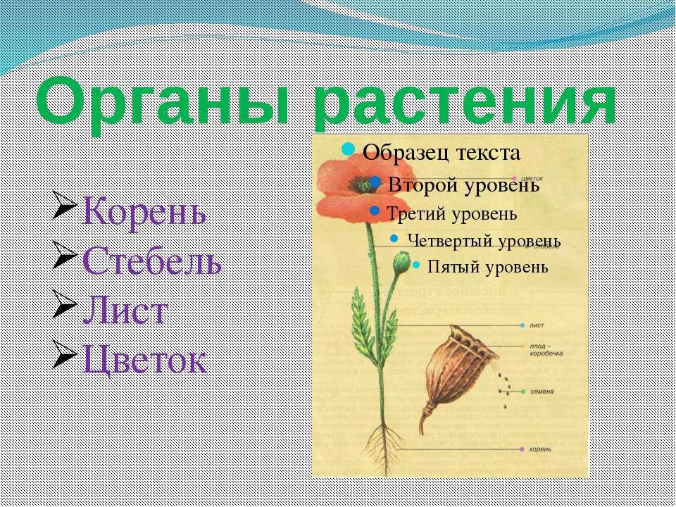 Органы растения Корень Стебель Лист Цветок