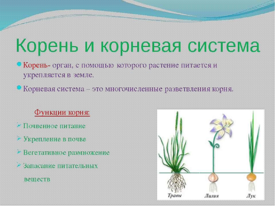 Корень и корневая система Корень- орган, с помощью которого растение питается...