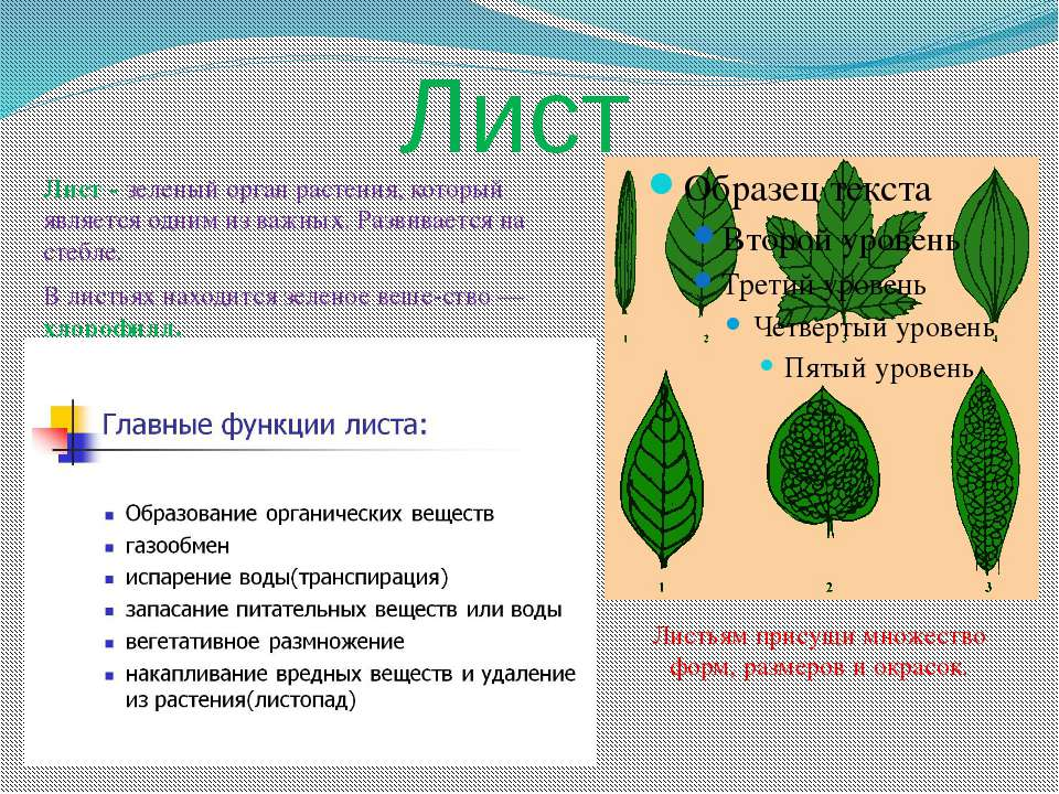 Лист Лист - зеленый орган растения, который является одним из важных. Развива...
