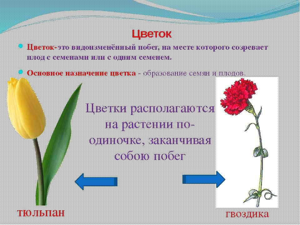 Цветок Цветок-это видоизменённый побег, на месте которого созревает плод с се...