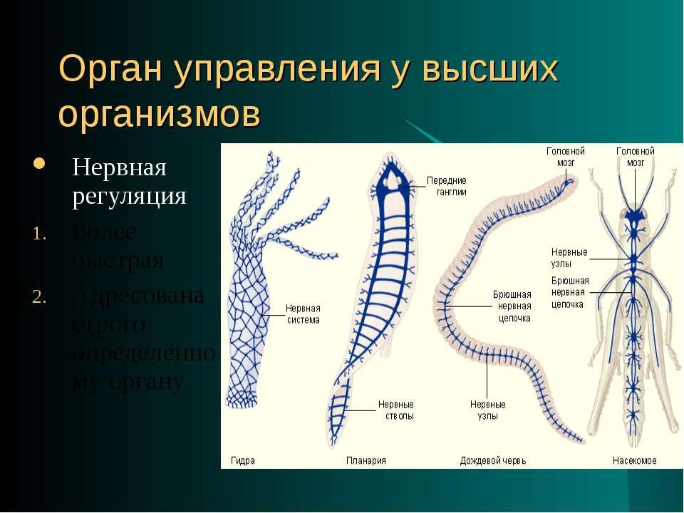 Орган управления у высших организмов Нервная регуляция Более быстрая Адресова...