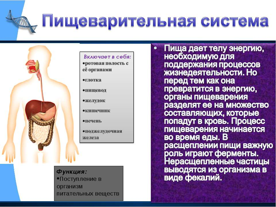 Функция: Поступление в организм питательных веществ