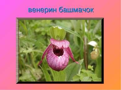 венерин башмачок