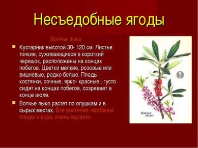 Несъедобные ягоды Волчье лыко Кустарник высотой 30- 120 см. Листья тонкие, су...