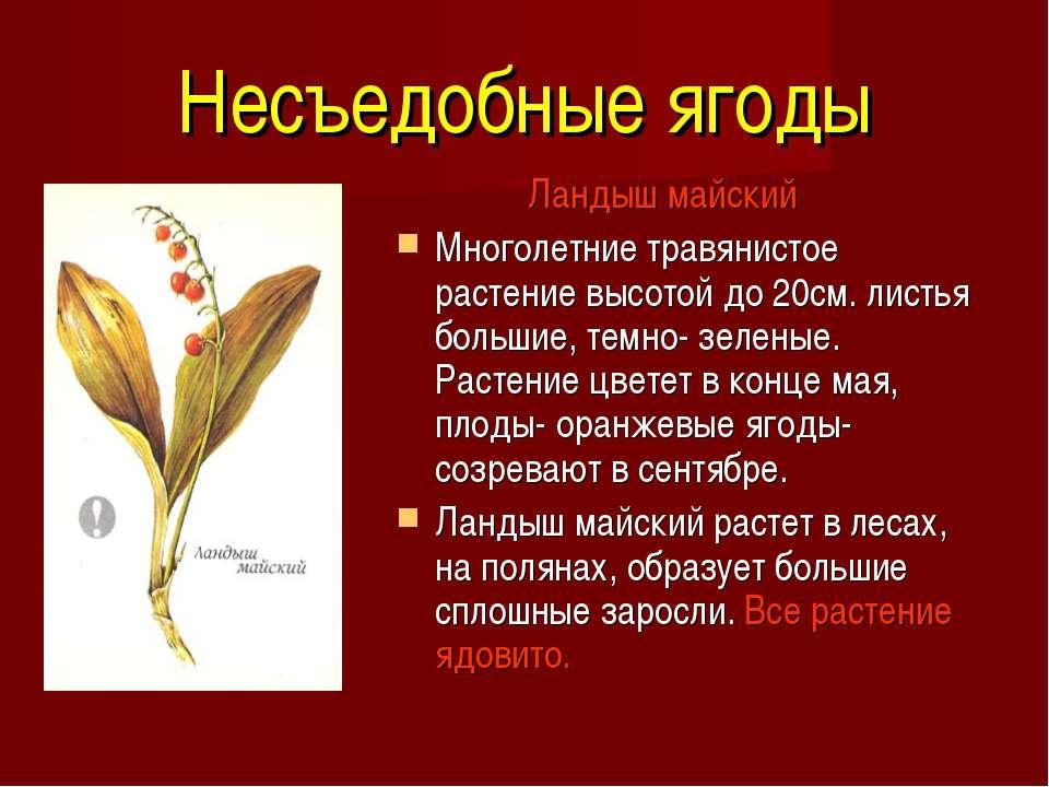 Несъедобные ягоды Ландыш майский  Многолетние травянистое растение высото...