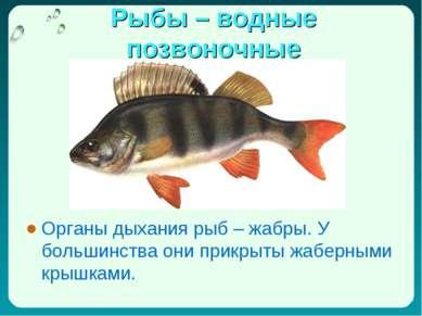 Органы дыхания рыб – жабры. У большинства они прикрыты жаберными крышками. Ор...