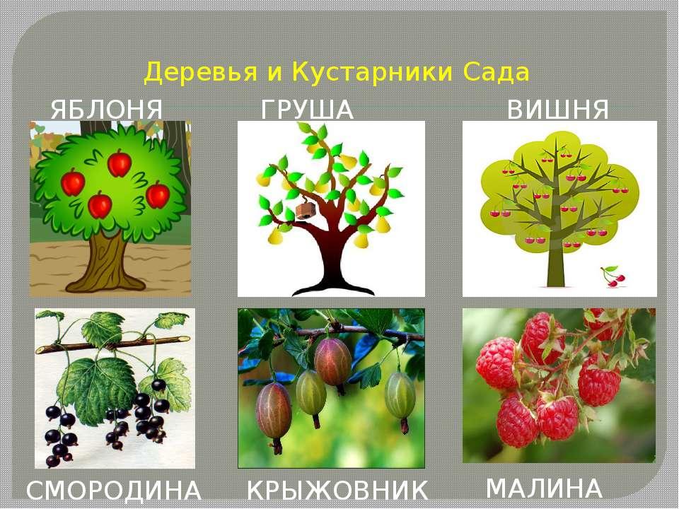 Деревья и Кустарники Сада ЯБЛОНЯ ГРУША ВИШНЯ СМОРОДИНА КРЫЖОВНИК МАЛИНА