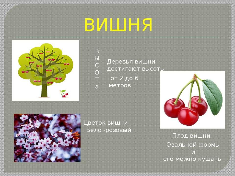 ВИШНЯ В Ы С О Т а Деревья вишни достигают высоты от 2 до 6 метров Бело -роз...