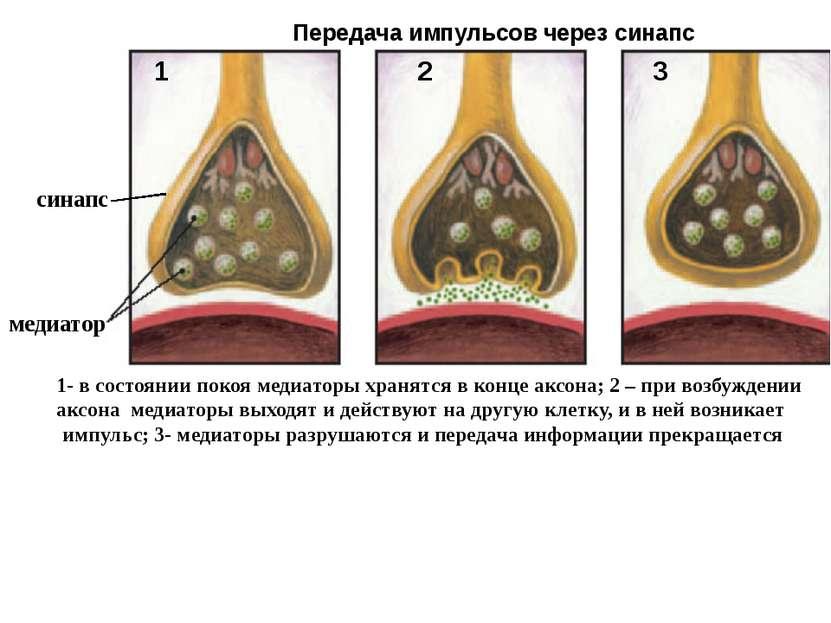 3 1 2 медиатор Передача импульсов через синапс 1- в состоянии покоя медиаторы...
