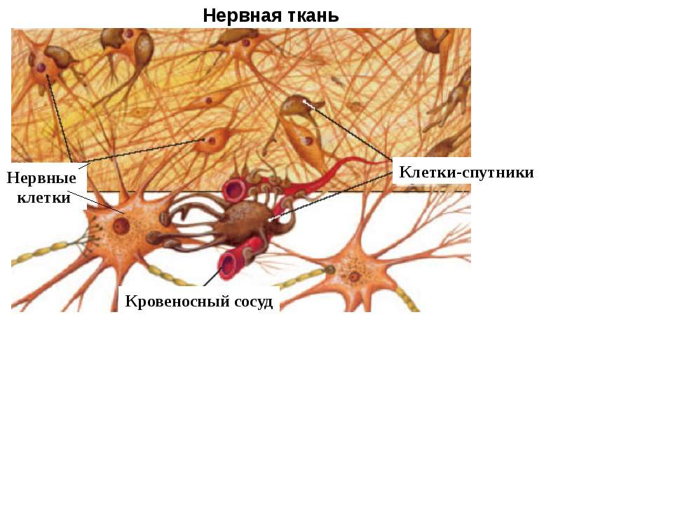 Нервная ткань Клетки-спутники Нервные клетки Кровеносный сосуд