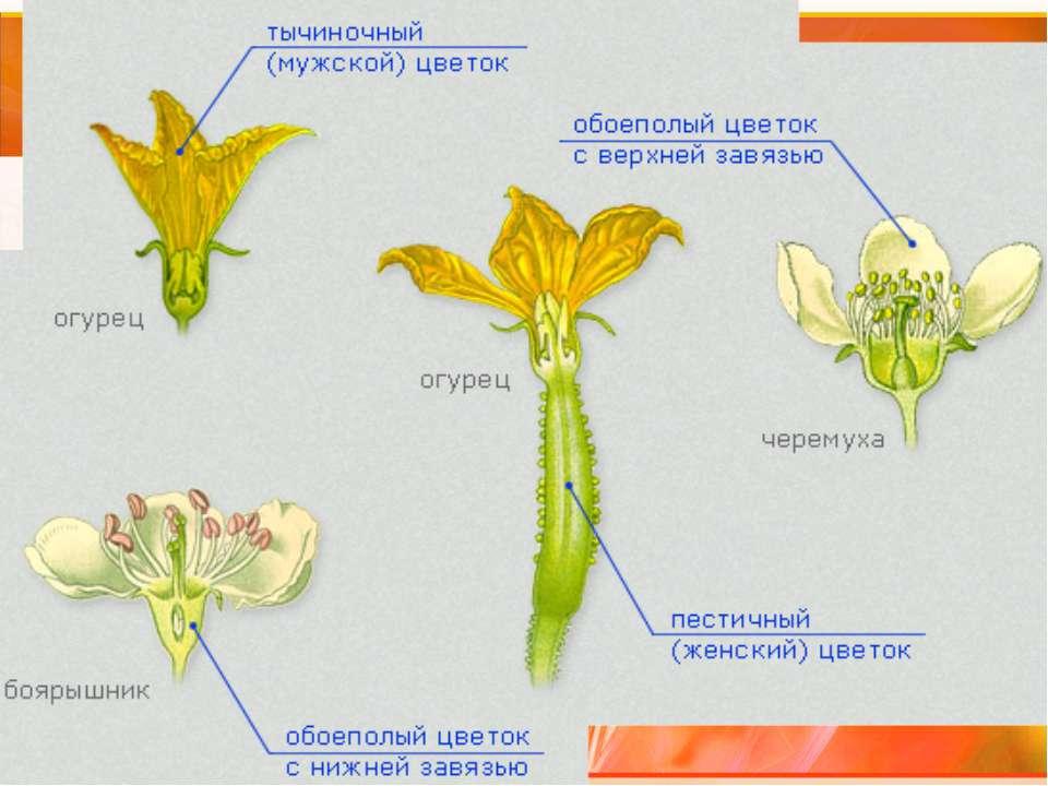 Зрелый мужской гаметофит - пыльцевое зерно Формирование спермиев В пыльниках ...