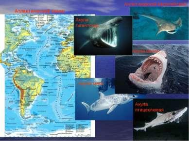 Ангел морской европейский. Акула мако Акула белая Акула гигантская Акула птиц...