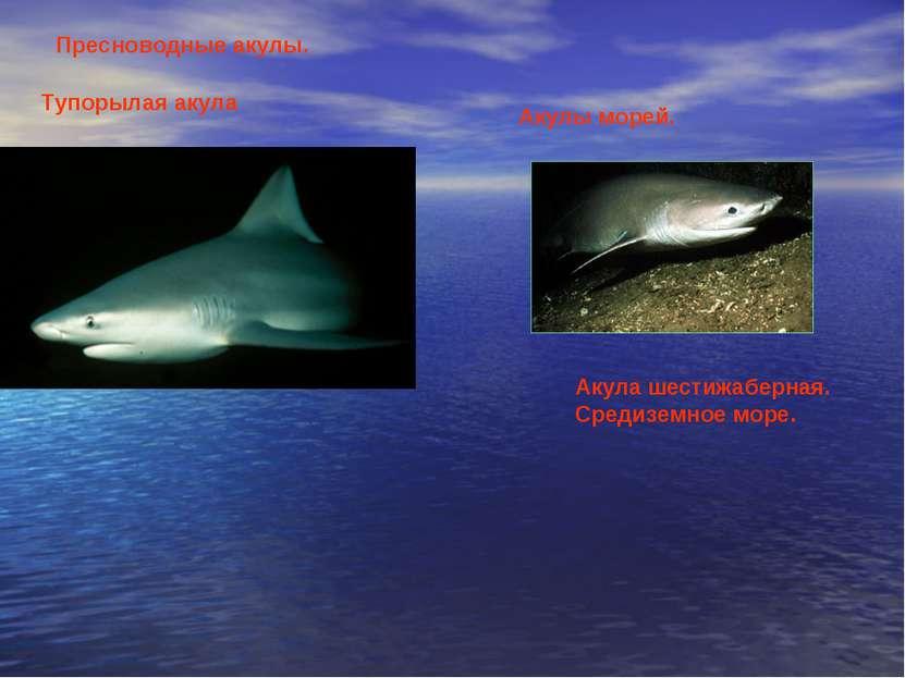 Пресноводные акулы. Тупорылая акула Акулы морей. Акула шестижаберная. Средизе...