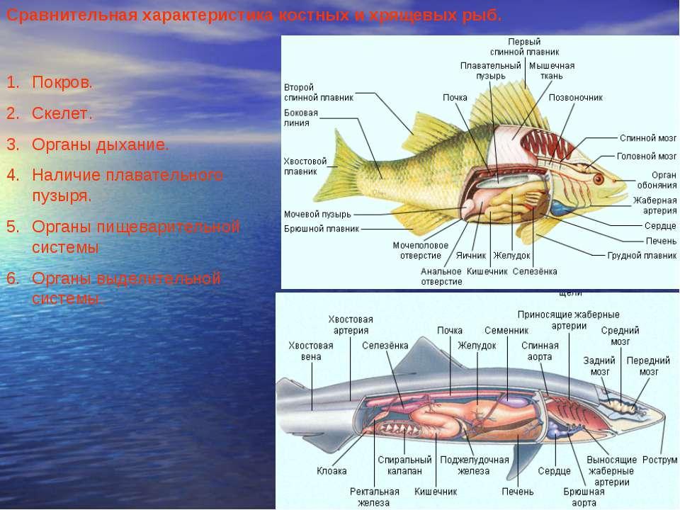 Сравнительная характеристика костных и хрящевых рыб. Покров. Скелет. Органы д...