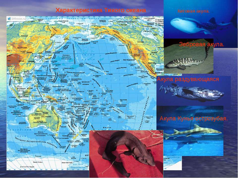 Характеристика Тихого океана Китовая акула. Зебровая акула. Акула раздувающая...