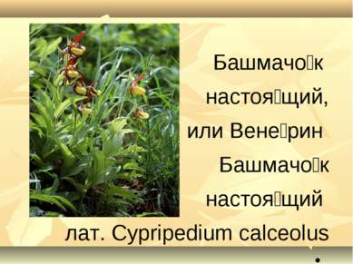 Башмачо к настоя щий, или Вене рин Башмачо к настоя щий лат. Cypripedium calc...